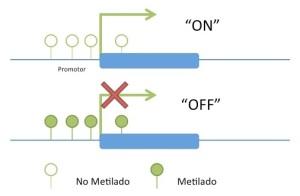 Visión simplificada del efecto de la metilación en la expresión génica.  Fuente:  LookforDiagnosis.com