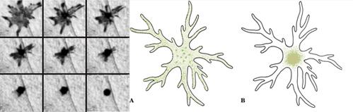El cromatóforo (izquierda) presenta primero el pigmento concentrado en el centro de su cuerpo (fila de abajo) y así no se ve el color, pero cuando el pigmento se expande por la célula (fila de arriba), la piel del animal  muestra el color de ese pigmento. A la derecha, la misma imagen pero en forma de esquema para facilitar su comprensión. Fuente: Wikipedia y La poza de la naturaleza.
