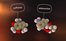caffeine and adenosine